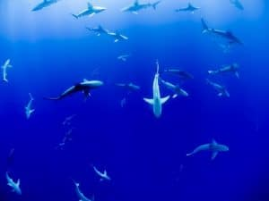 An images is shown of a group of 20 shark swimming in the ocean.