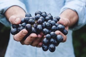 A pair of hands is shown holding a bunch of blueberries still on the vine. This picture represents the idea that dietary changes are key to lose weight.