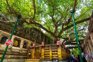 The Bodhi Tree in the Mahabodhi Temple is shown. It is under this tree where Gautama Buddha is said to have obtained Enlightenment.
